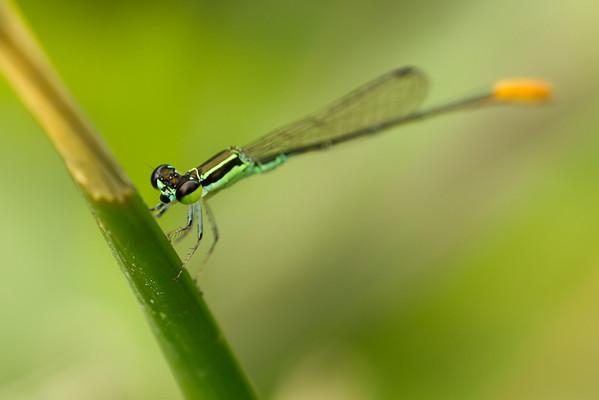 Dragonflies and Damselflies
